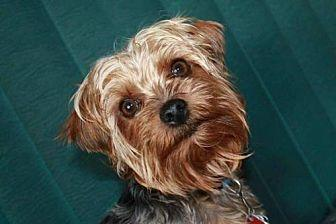 Fez Yorkie, Yorkshire Terrier Adult Male for Sale in Sioux