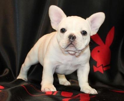 FHGJHHHCC French Bulldog puppies for Sale