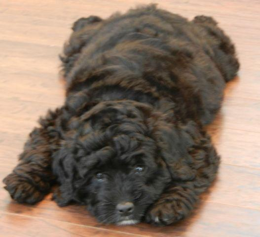 Fib Mini English Teddy Bear Goldendoodle Puppies, non-shed for Sale in ...
