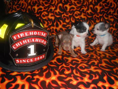 Firehouse Chihuahuas Puppies Due 114 Ready For Christmas More 2