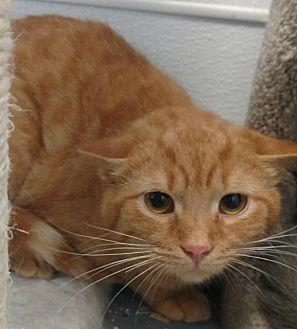 Firestar Domestic Shorthair Young Male