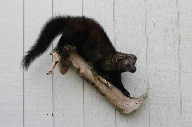 Fisher Mount Taxidermy For Sale In Oregon City Oregon