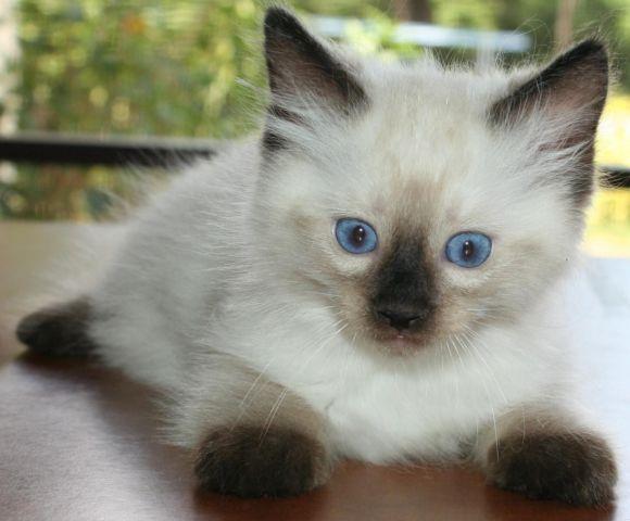 Florida Ragdoll Kittens.com - Home | Facebook