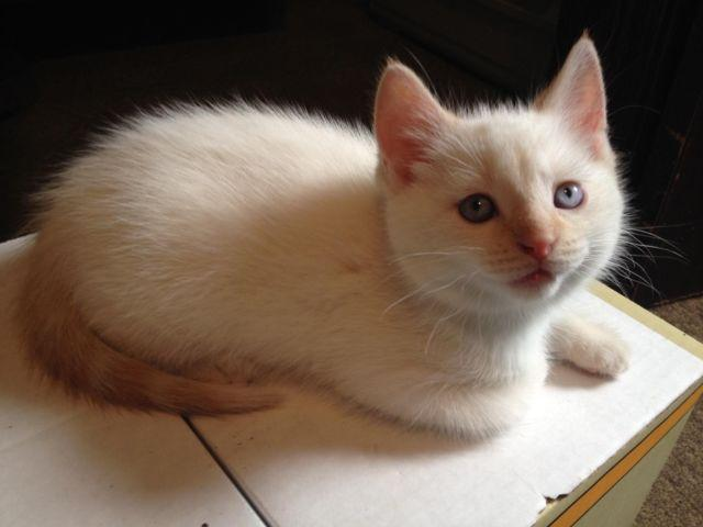 Flame Point Siamese Kitten For Sale In Luray Indiana