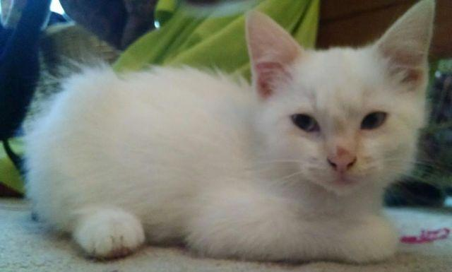 Flame Point Siamese Kittens For Sale In Beaverton Oregon