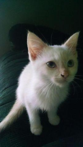Flame point siamese / ragdoll mix male kittens
