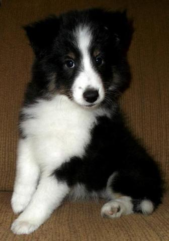 Destiny: Flashy Shetland Sheepdog Puppy