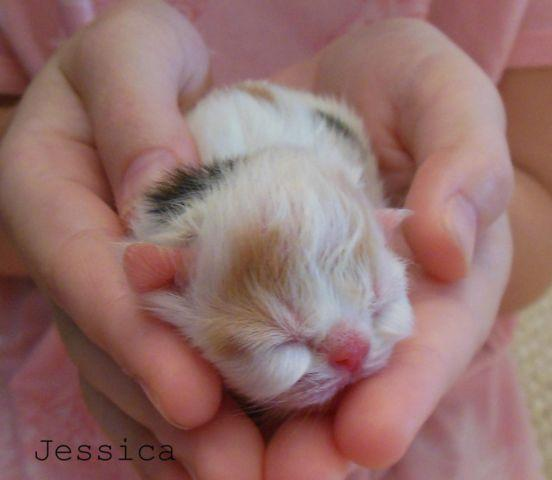 FLAT FACED Persian kittens for Sale in ARKANSAS for Sale in Mulberry ...