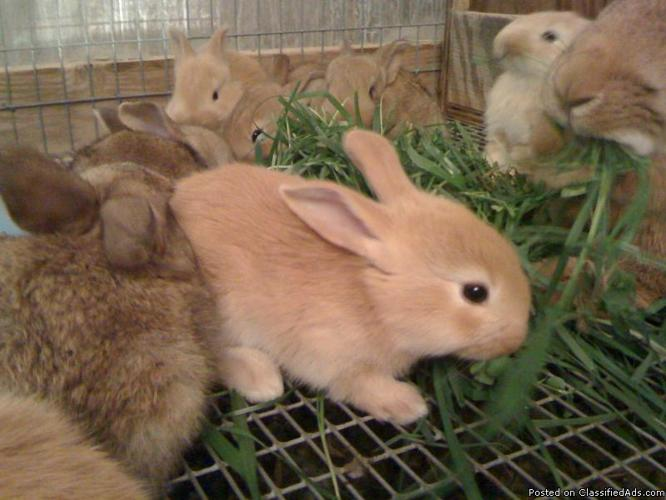 Flemish bunnies for sale. for Sale in Easton, Pennsylvania ...