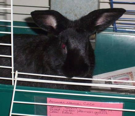 Flemish Giant - Lucky - Large - Young - Male - Rabbit