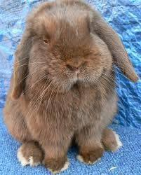 Flemish Giant Rabbits Classifieds Buy Sell Flemish Giant