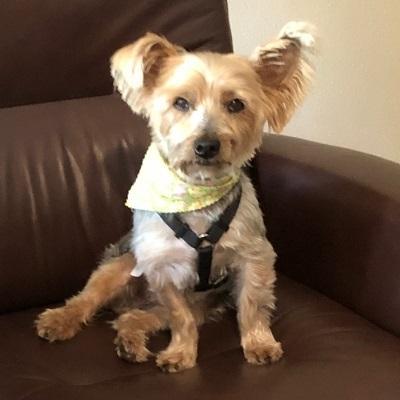 Flip Flop Yorkshire Terrier Yorkie Adult Adoption Rescue For Sale