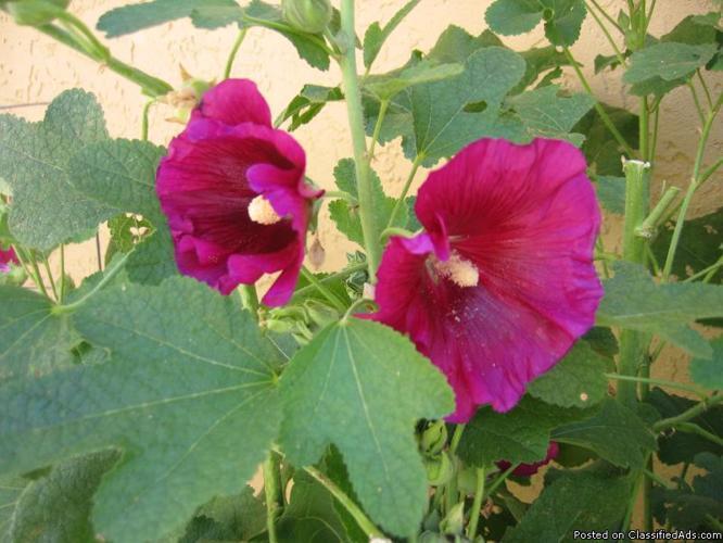 Flowering plants for sale in san diego california for Large flowering shrubs