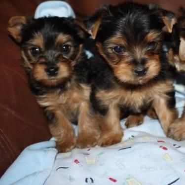 Fluff Puff Akc Pom Puppiesckc Yorkiepom Puppy And Adults