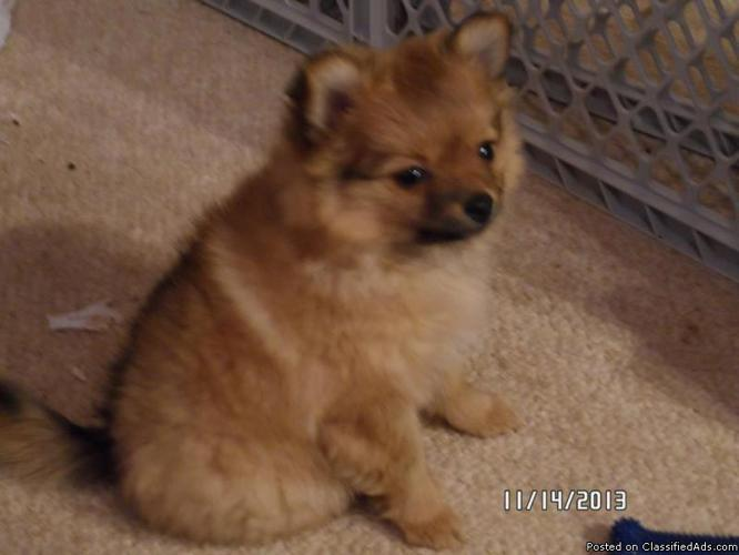 Fluffy CKC Toy Pomeranian