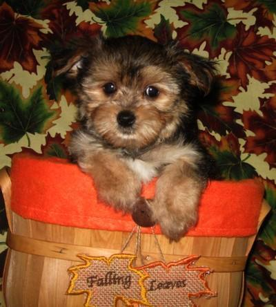 yorkie mixed puppies for sale mn fluffy little morkie male puppies yorkie maltese cuties 4993