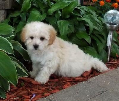 Fluffy Little Morkie Poo Puppies So Cute For Sale In