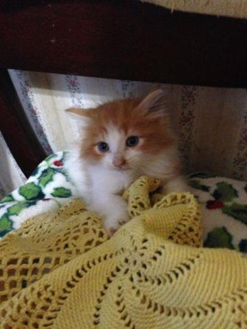 Fluffy orange and white kitten