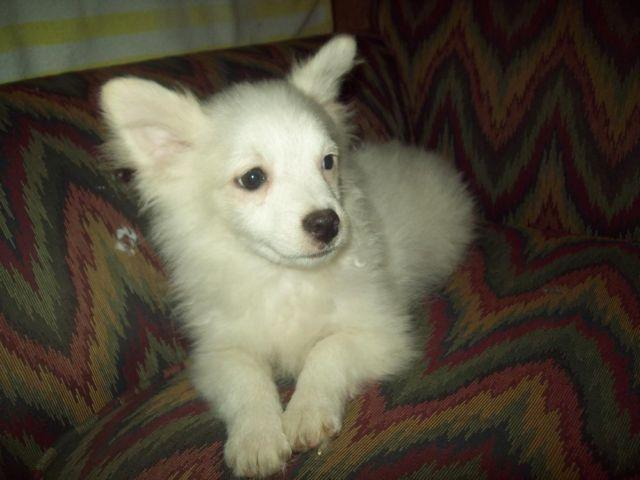 chihuahua puppies for sale in nc fluffy pomchi puppy pomeranian chihuahua for sale in 5741
