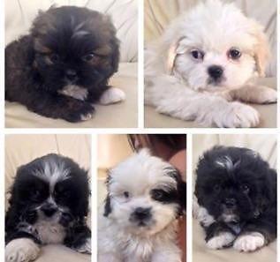Fluffy Shih Poo puppies
