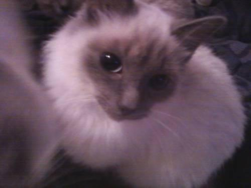 fluffy siamese 6month old kittens for sale in north adams michigan