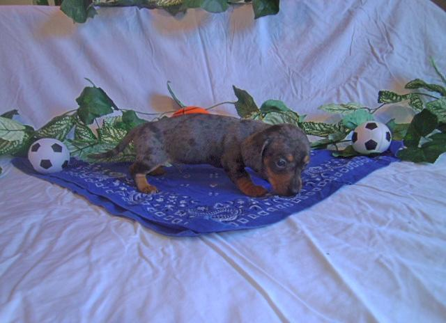 For Sale Dapple Dachshund For Sale In Valdosta Georgia