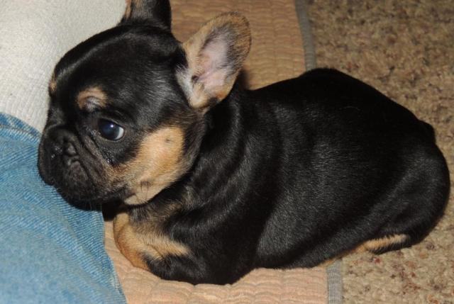 For Sale Black Tan Female French Bulldog Puppy 6 Weeks