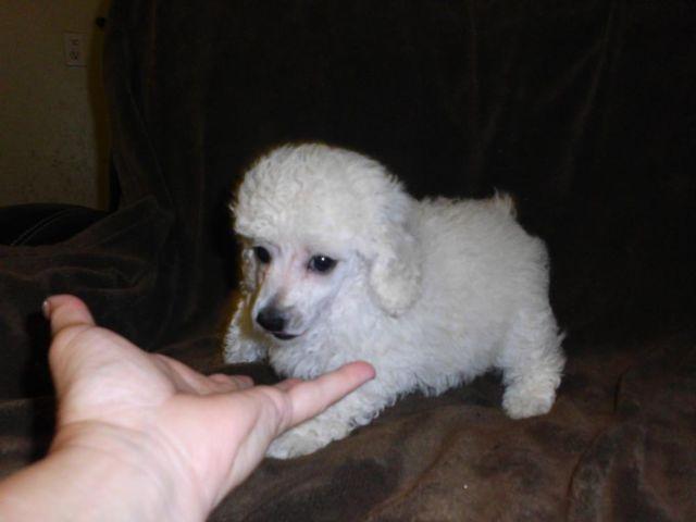 For Sale CKC Reg Male Toy Poodle Puppy