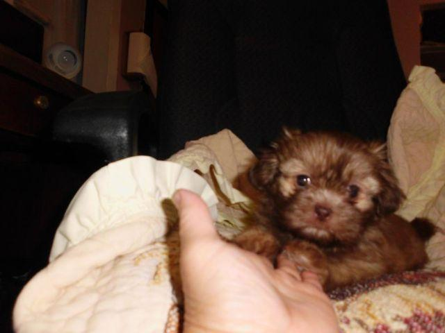 For Sale Female Shih-tzu Puppy