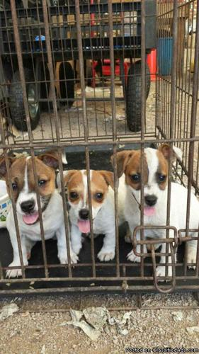 for sale full blood jack russell puppies