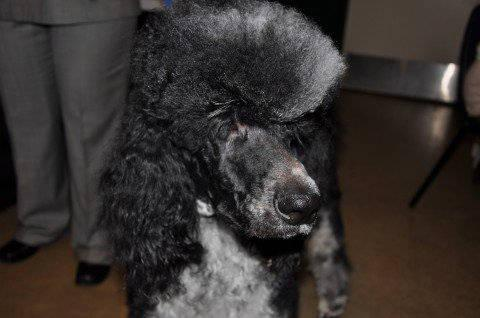 For Sale (parti) Standard Poodle male,