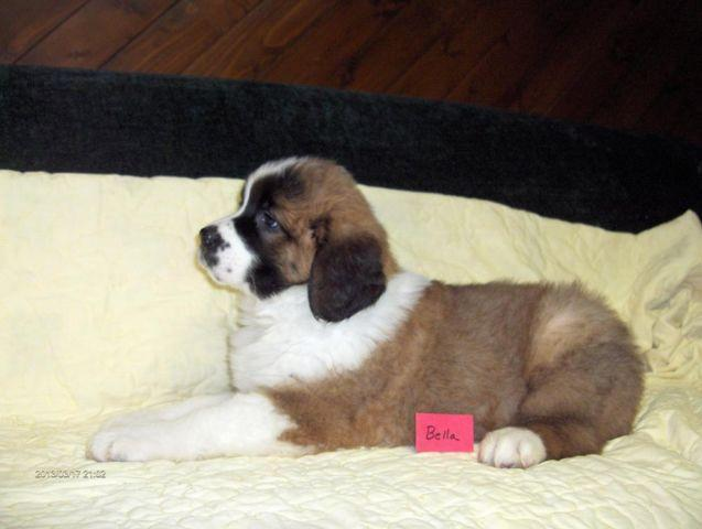 For Sale Registered Saint Bernard Puppies Ready To Take Home For
