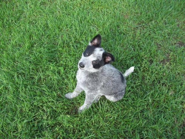For sale Texas Heeler puppies