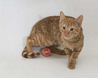 Forest Domestic Shorthair Adult Male