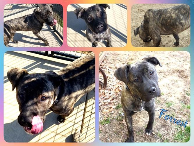 Forrest American Staffordshire Terrier Baby - Adoption