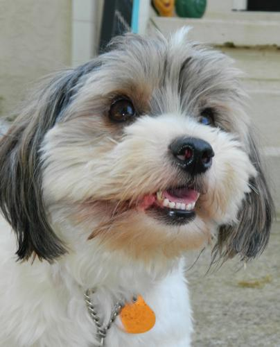 shih tzu mix rescue adopt shih tzu poodle mix goldenacresdogs com 1642