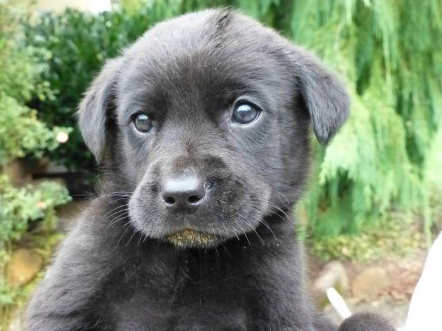 Rottweiler Mix Puppies For Sale In Washington Classifieds Buy And