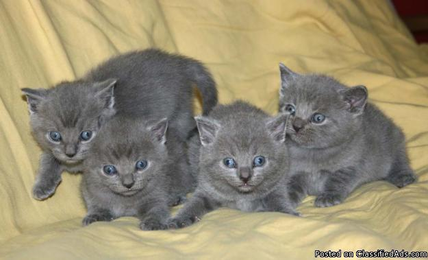 Blue Kittens For Sale : Four russian blue kittens ready for new homes for sale in eugene