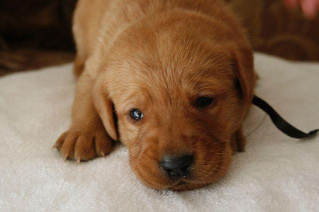 Red Fox Lab Puppies For Sale In California Classifieds Buy And