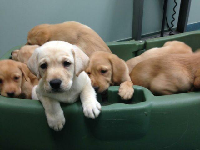 Fox Red Labrador Retriever puppies