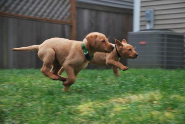 Fox Red Pointing Labradors Puppies For Sale In Dupont Washington