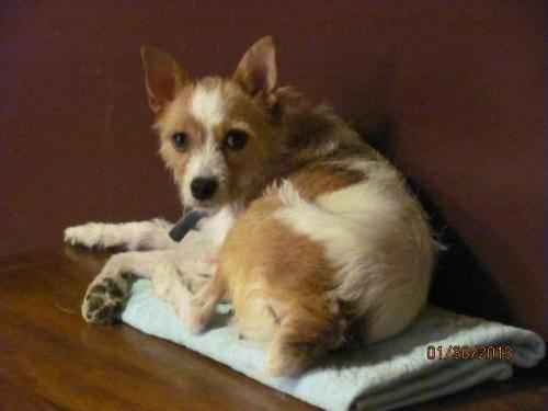 Fox Terrier - Molly - Small - Young - Female - Dog
