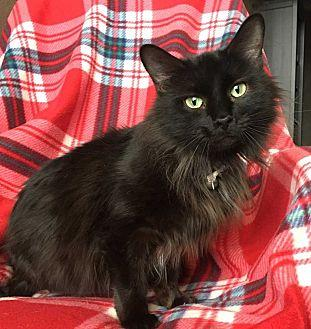 Francie Domestic Longhair Adult Female