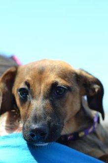 Frankie Basset Hound Puppy Male For Sale In Elkhorn Wisconsin