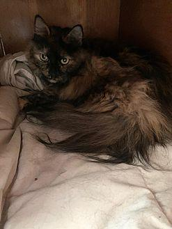 Frankie Domestic Longhair Adult Female