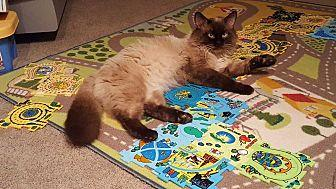 Frankie Siamese Adult Male