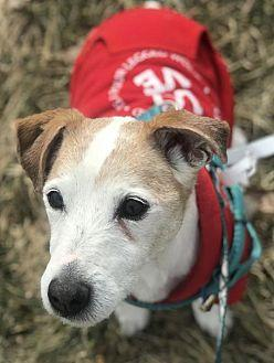 Fred Jack Russell Terrier Senior Male