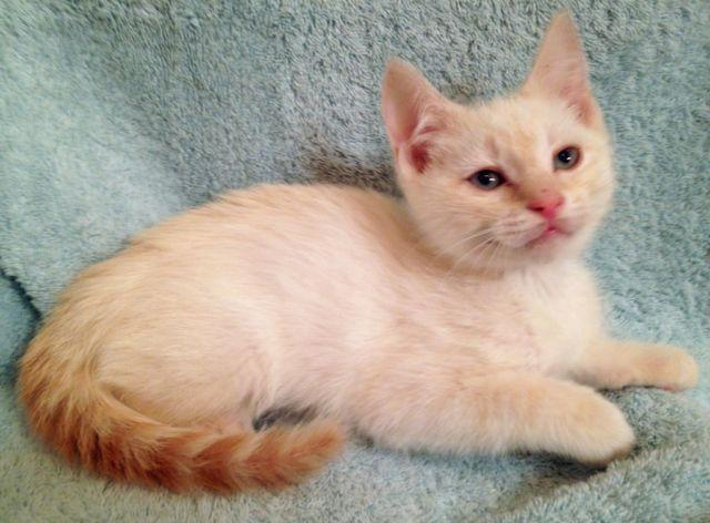 Freddy Blue Eyed Flame Point Siamese Mix Male Kitten For