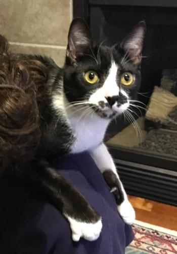 Frederick Domestic Short Hair Young - Adoption, Rescue for Sale in ...