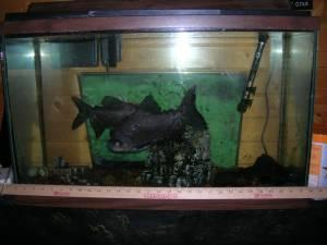 Free 2 pacu fish two harbors for sale in duluth for Pacu fish for sale